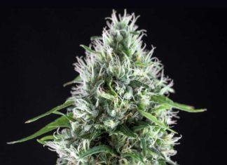 Semilla de Marihuana Super Silver Bilbo de Genehtik