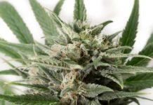 Semilla de Marihuana Blue Amnesia XXL Autoflowering de Dinafem Seeds