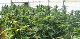 Un cultivador de plantas de marihuana ¿Qué tiene que tener en cuenta?