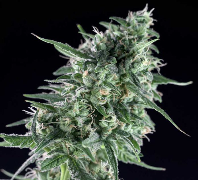 Semilla de Marihuana Txees Bilbo de Genehtik