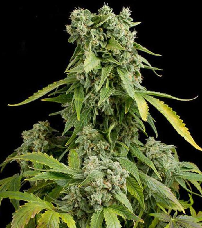 Semilla de Marihuana Blue Cheese Autoflowering de Dinafem Seeds