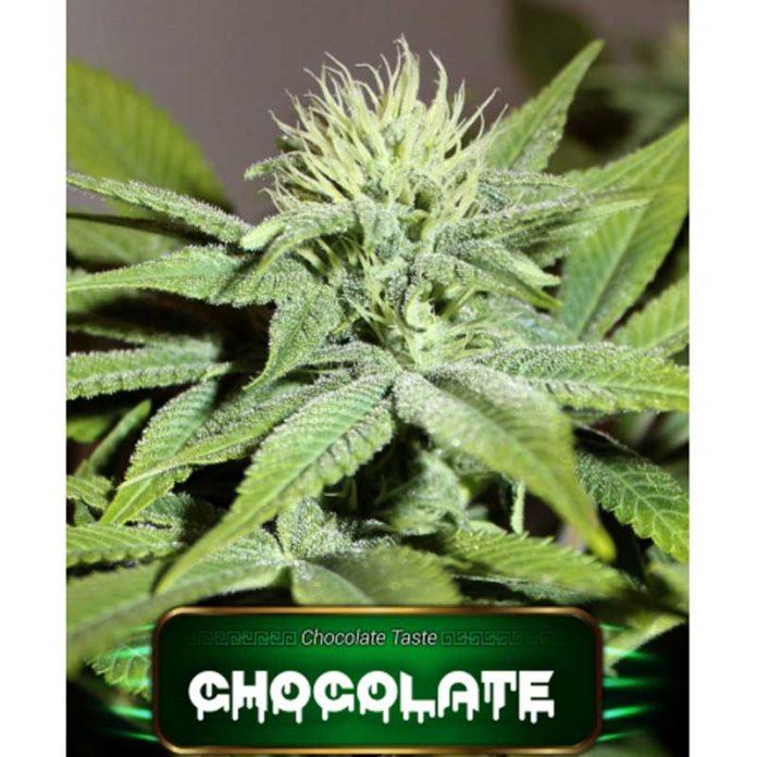 Semilla de Marihuana Chocolate de Gea Seeds