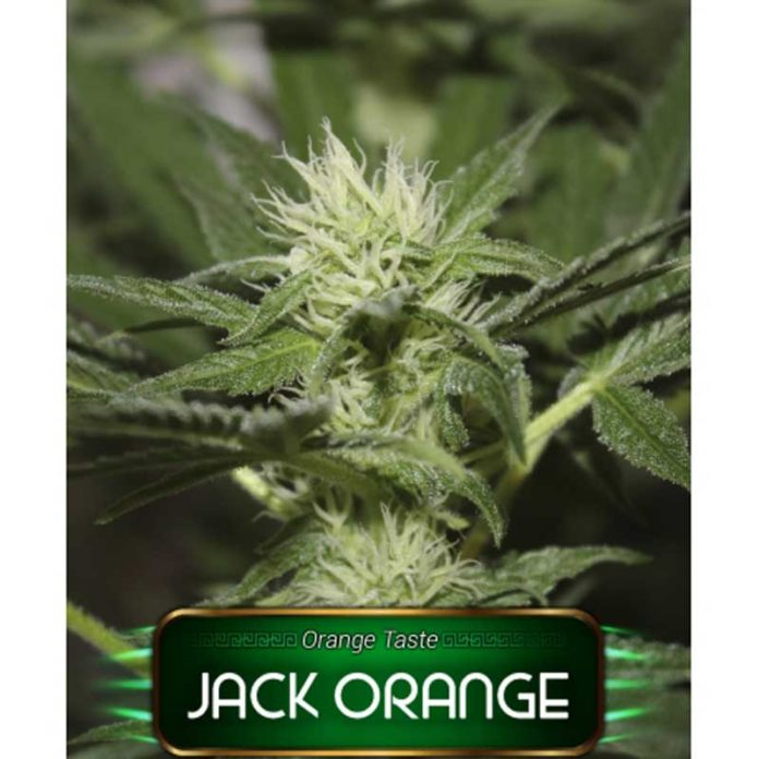 Semilla de Marihuana Jack Orange de Gea Seeds