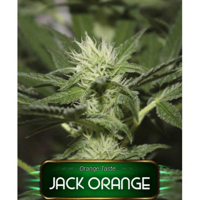 Semilla de Marihuana Jack Orange de Gea Seeds