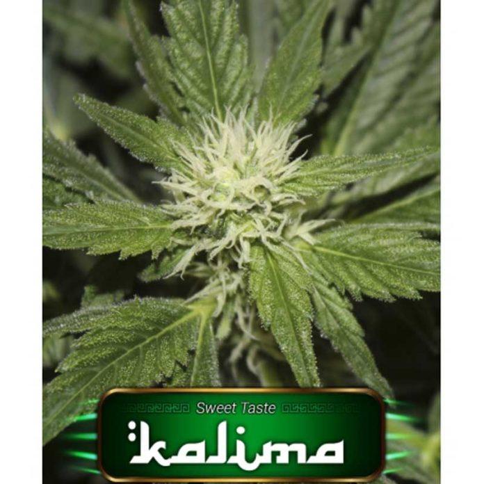 Semilla de Marihuana Kalima de Gea Seeds