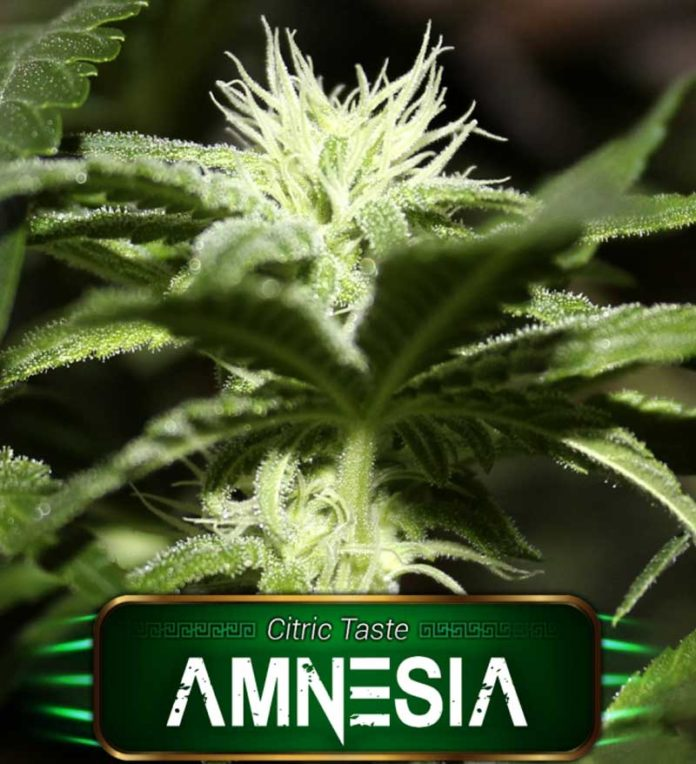 Semilla de Marihuana Amnesia de Gea Seeds