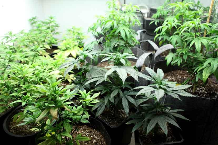 Ventajas Y Desventajas De Cultivar Marihuana Cultivo En