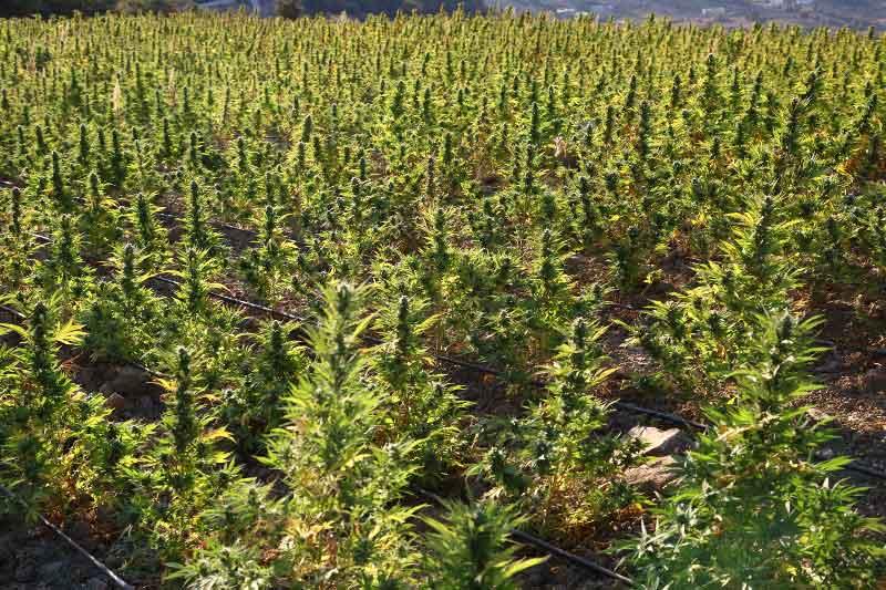 Ventajas Y Desventajas De Cultivar Marihuana Cultivo En Interior Vs Exterior