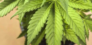 Vino con sabor a Marihuana, para paladares cannábicos