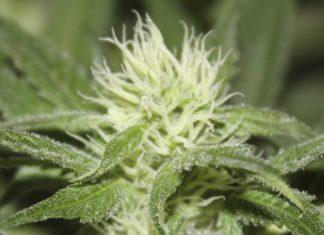 Semilla de Marihuana Feminizada Roseta Stone de Gea Seeds