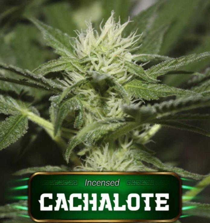 Semilla de Marihuana Cachalote de Gea Seeds
