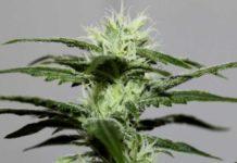 Semilla de Marihuana Lima Haze de Gea Seeds