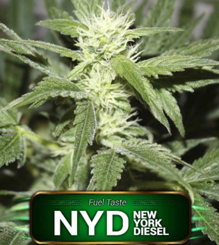 Semilla de Marihuana New York Diesel Feminizada de Gea Seeds
