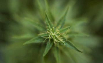 ¿Qué son los terpenos en la planta de Marihuana?