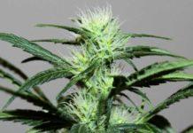 Semilla de Marihuana Feminizada Power Bud de Gea Seeds