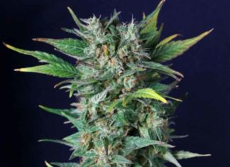 Semilla de Marihuana Chronical de Gea Seeds