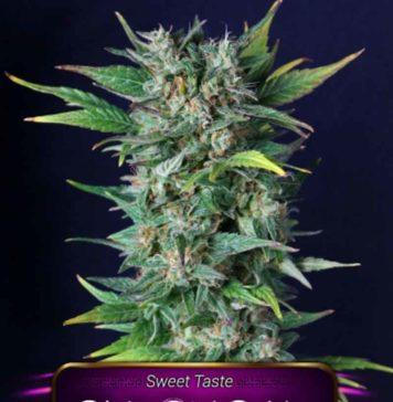Semilla de Marihuana Chronical de Gea Seeds