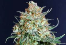 Semilla de Marihuana Bubble Fruit de Gea Seeds