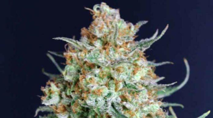 Semilla de Marihuana Bubble Fruit de Gea Seeds