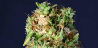 Semilla de Marihuana Northern Kush de Gea Seeds