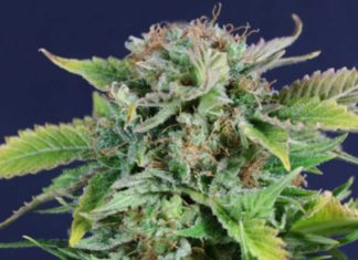 Semilla de Marihuana Early Snunk de Gea Seeds
