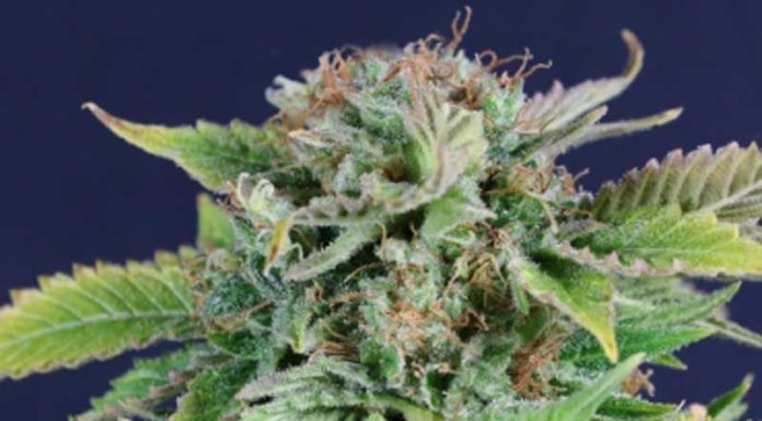 Semilla de Marihuana Early Snunk de Gea Seeds