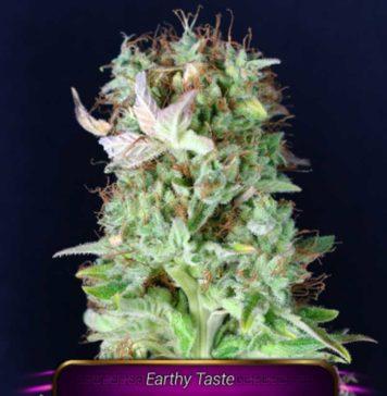 Semilla de Marihuana Matanus-k de Gea Seeds