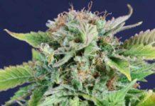 Semilla de Marihuana M8 de Gea Seeds
