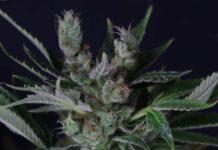 Semilla de Marihuana Train Wreck Feminizada de Gea Seeds