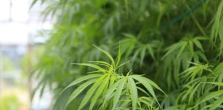Record de Millones en Ventas de Marihuana en el estado de Washington