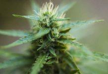 Profesiones relacionadas con la Marihuana