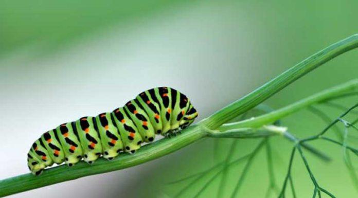 Orugas en Plantas de Marihuana