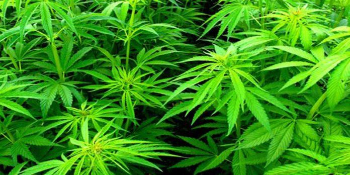 Productos para el Cultivo de Marihuana