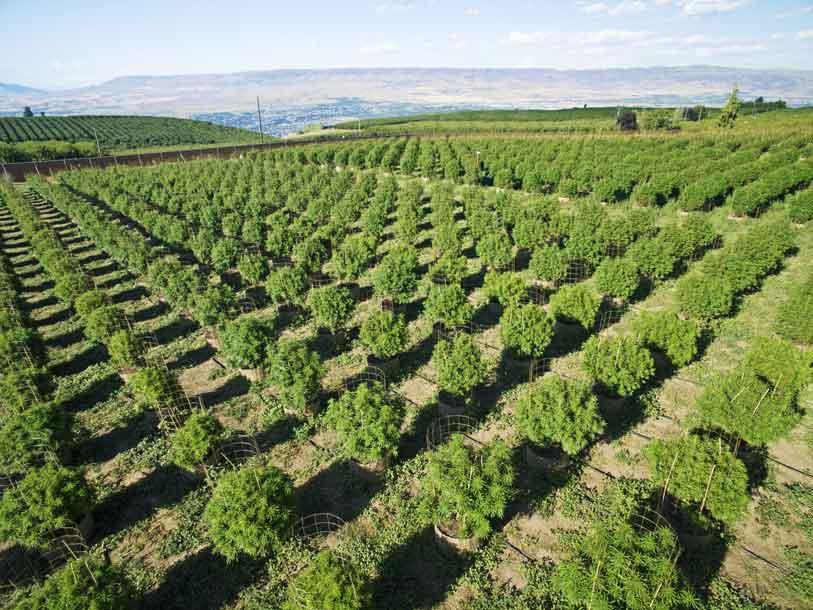 cultivo de marihuana exterior cultivo de marihuana interior