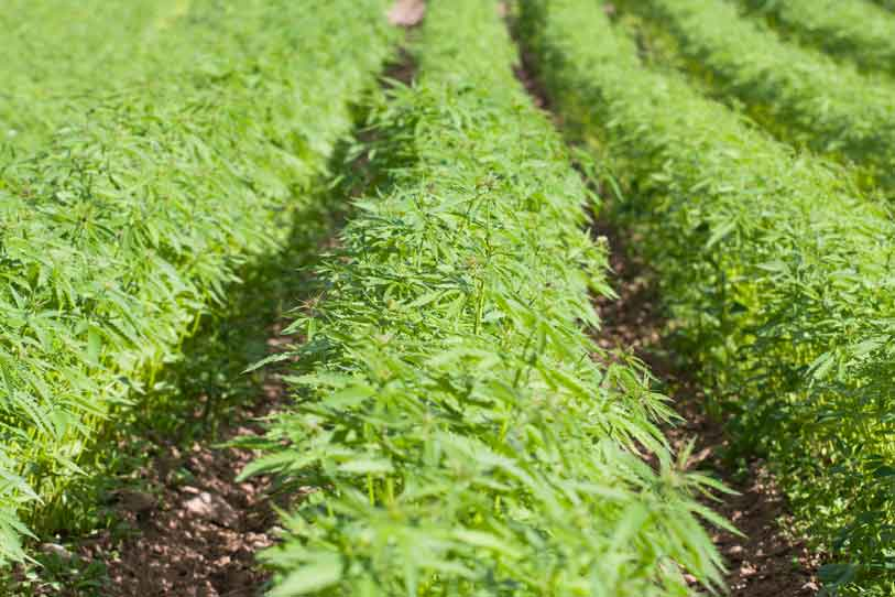 Cómo cultivar marihuana