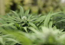 La Marihuana ayuda en la Depresión
