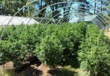 Plagas en un Cultivo de Marihuana