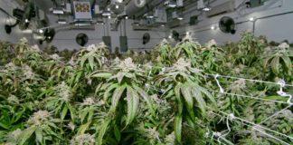 Agua Oxigenada en nuestro Cultivo de Marihuana