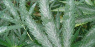 Enfermedades de la Marihuana, el Oídio