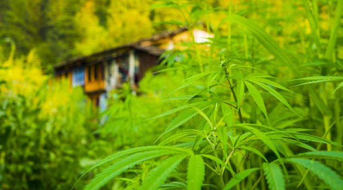 Errores que se cometen a la hora del Cultivo de Marihuana
