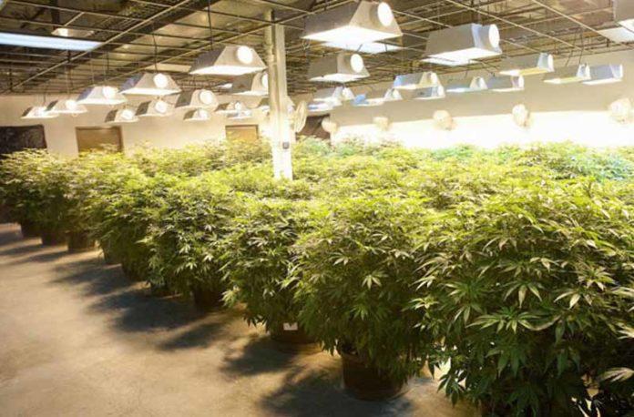 Cosechar Marihuana - Cuándo podemos cosechar las Plantas de Marihuana