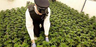 La Marihuana Medicinal tendrá mayor tirón en el Reino Unido