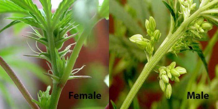 Planta de Marihuana Macho - Planta de Marihuana Hembra