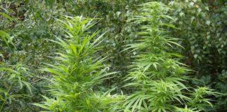 Controlar las Plagas de la Marihuana - Control de Plagas