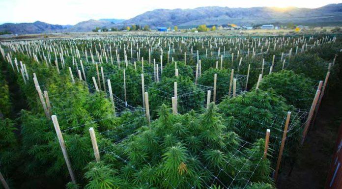 Eliminar una Plaga de Orugas en un cultivo de Marihuana