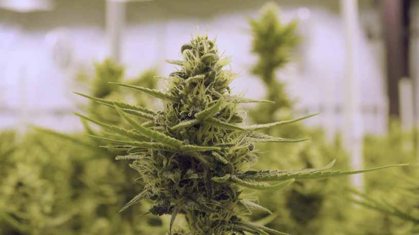 Marihuana Genera Empleos - Marihuana Genera Trabajos
