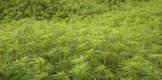Enfermedades que Trata la Marihuana Terapéutica - Marihuana Terapéutica