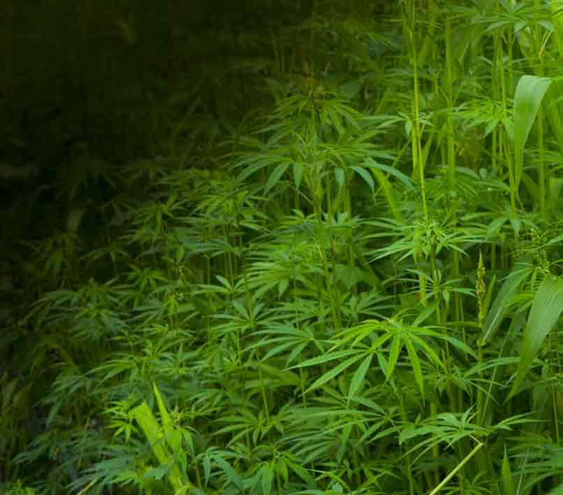 Plagas de Insectos - Plagas en un Cultivo de Marihuana