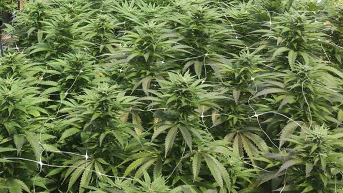 Insectos beneficiosos en un Cultivo de Marihuana - Insectos Buenos