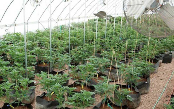 Autocultivo de Marihuana - Cultivo de Marihuana en Casa